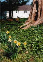 Daffodils (c) 2005 Shirley Dodson